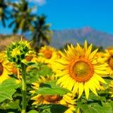 Schönes bloming Feld des Sonnenblumenhintergrundes mit dem blauen Himmel Stockbilder