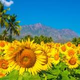 Schönes bloming Feld von Sonnenblumenhintergrund mit blauem Himmel, p Stockbilder