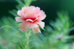 Schönes Blume Portulaca-oleracea im Sommer auf einem grünen backgro Lizenzfreie Stockbilder