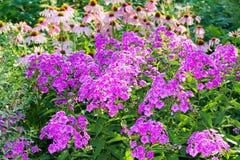 Schönes Blumenbeet mit Flammenblume und Echinacea Lizenzfreie Stockfotografie