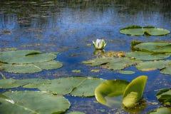 Schönes Blumenblühen des weißen Lotos stockfotos