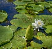 Schönes Blumenblühen des weißen Lotos lizenzfreies stockbild