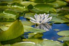 Schönes Blumenblühen des weißen Lotos lizenzfreie stockbilder