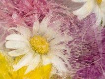 Schönes Blumengänseblümchen eingefroren im Eis Stockbilder