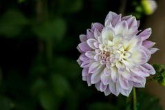 Schönes Blumenweiß und -veilchen Lizenzfreies Stockbild