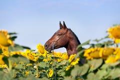 Schönes Braun trägt Pferd mit der umsponnenen Mähne im Halter zur Schau, der auf dem Gebiet mit großen gelben Blumen steht, die s Lizenzfreies Stockfoto
