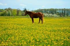 Schönes braunes Hengstpferd in den gelben Blumen lizenzfreies stockfoto