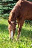 Schönes braunes Pferd Lizenzfreies Stockbild