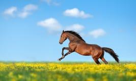 Schönes braunes Pferd, das über das Feld galoppiert Lizenzfreie Stockfotos