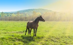 Sch?nes braunes Pferd, das allein auf dem gr?nen Feld an einem sonnigen Sommertag steht lizenzfreie stockfotografie
