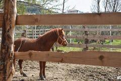 Schönes braunes Pferd, das auf grünem Gras hinter dem Zaun am Bauernhof steht Stockbilder