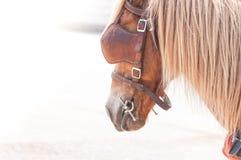 Schönes braunes Pferd, domestiziertes Tier benutzt von den Menschen als Transport Lizenzfreies Stockfoto