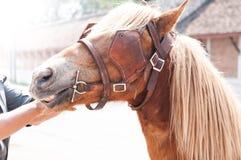 Schönes braunes Pferd, domestiziertes Tier benutzt von den Menschen als Transport Stockfoto
