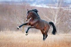 Schönes braunes Pferderennen, das über das Feld auf einem Hintergrundherbstwald galoppiert Lizenzfreie Stockfotos