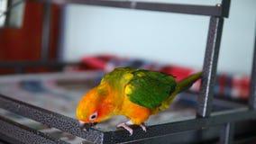 Schönes buntes Sonne conure wilder Papagei, der Plätzchen isst stock video footage