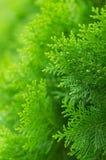 Schönes Detail des chinesischen Arborvitae mit bokeh Lizenzfreies Stockfoto