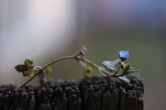 Schönes Detailfoto der kleinen blauen Blume auf einem hölzernen Brett stockbilder