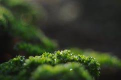 Schönes Detailfoto des grünen frischen Mooses lizenzfreies stockfoto