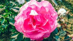 Schönes dunkles Rosa stieg mit schönem natürlichem Hintergrund stockbild