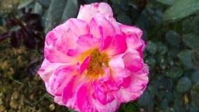 Schönes dunkles Rosa stieg mit schönem natürlichem Hintergrund lizenzfreie stockbilder