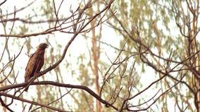 Schönes Eagle, das auf einer Niederlassung sitzt Lizenzfreie Stockfotos