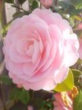 Schönes Englisch Rose Blooming während des Frühlinges stockbilder