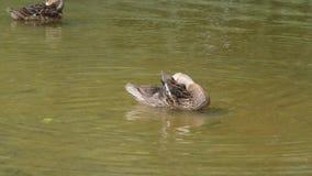 Schönes Entenschwimmen in einem Teich stock video footage