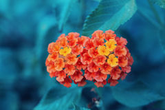 Schönes feenhaftes träumerisches magisches rotes gelb-orangees Blume Lantana camara auf grün-blauem undeutlichem Hintergrund Stockfotografie