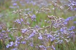 Schönes Feld der purpurroten Blume Vervain Bonariensis oder Purpletop Vervain unter einem hellen Himmel stockbilder
