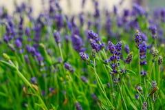 Schönes Feld des Lavendels blüht nahe meinem Haus, in dem Sie gehen und seinen angenehmen Geruch genießen können lizenzfreie stockfotografie