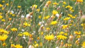 Schönes Feld mit gelben Wildflowers Anlagen ziehen in den Wind um Flache Schärfentiefe stock video