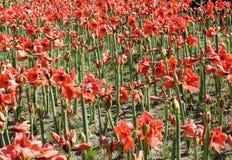 Schönes Feld roter Amaryllis-Blume stockbilder