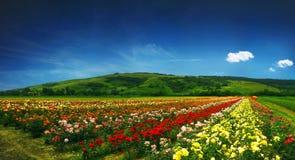 Schönes Feld voll der Rosen - Panorama Stockfotografie