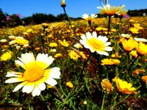 Schönes Feld von Blumen in Portugal Stockfotos
