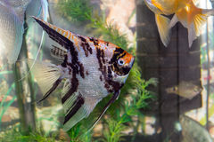 Schönes Fischschwimmen in einem Hauptaquarium Stockfotografie