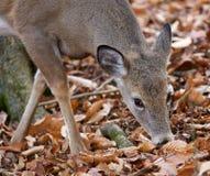 Schönes Foto der lustigen Rotwild im Wald Lizenzfreies Stockfoto