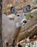 Schönes Foto der netten Rotwild im Wald Lizenzfreies Stockfoto
