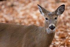 Schönes Foto der netten Rotwild im Wald Lizenzfreie Stockfotos