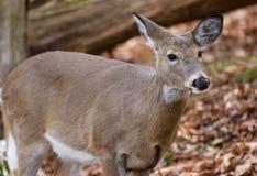 Schönes Foto der netten Rotwild im Wald Stockbilder