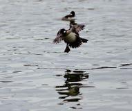 Schönes Foto einer netten Entenlandung auf einem See Stockfotografie