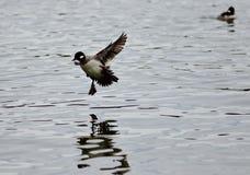 Schönes Foto einer netten Entenlandung auf einem See Lizenzfreie Stockfotos