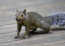 Schönes Foto eines netten lustigen Eichhörnchens auf einem Bretterboden Lizenzfreie Stockfotografie