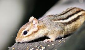 Schönes Foto eines netten Streifenhörnchens auf der Hecke Lizenzfreies Stockbild