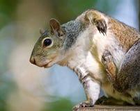 Schönes Foto mit einem lustigen netten Eichhörnchen, das auf der hölzernen Hecke itching ist Stockbild
