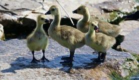 Schönes Foto von vier kleinen Küken der Kanada-Gänse Stockbild