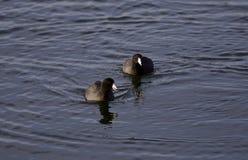 Schönes Foto von zwei Blässhühnern, die im See schwimmen Stockbilder