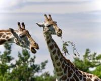 Schönes Foto von zwei netten Giraffen, die Blätter essen Lizenzfreie Stockfotografie