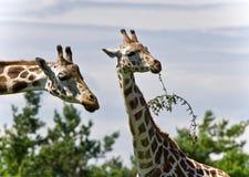 Schönes Foto von zwei netten Giraffen, die Blätter essen Lizenzfreies Stockfoto