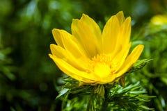 Schönes Frühlingsgelb blüht Adonisröschen Lizenzfreie Stockfotografie