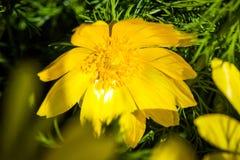 Schönes Frühlingsgelb blüht Adonisröschen Stockbilder
